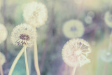 Fotografie close up of dandelion with abstract color and shallow focus