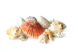 beautifull sea shells close up on white background