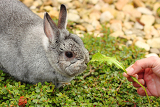 my pet little rabbit fattening handtomouth