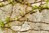 old wall with green leaf texture for background or backdrop use
