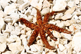 brown sea star sitting on stoned beach