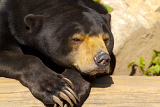 Fotografie sun bear also known as a malaysian bear helarctos malayanus