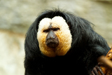Fotografie pithecia pithecia also known as goldenface saki monkey in zoo