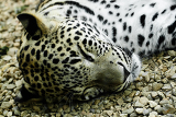 lying and sleeping snow leopard irbis panthera uncia
