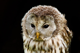Photo nice portrait ural owl strix uralensis a nightbird