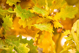 gold autumn colors of oak leaves with acorn