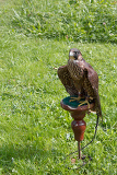 Fotografia tame trained falcon sitting on a perch