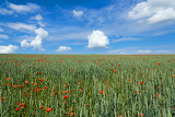 landscape with field of red poppies under blue sky