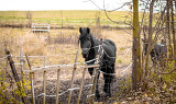 Photo skinny horse outside in fenced yard area with ribs showing