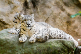 lying family of snow leopard irbis panthera uncia