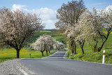 spring road with alley of cherry trees in bloom