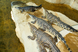 group of crocodiles laying on the crocodile farm