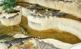 Photo group of crocodiles laying on the crocodile farm