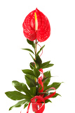 Fotografie red anthurium flamingo flower  boy flower on white