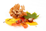 colorful autumn leaves chestnuts and acorn on white background