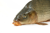 carp is traditional czech christmas food carp has tasty dietary meat fishing carp great pleasure