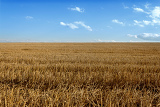 Fotografie rural landscape harvested gold wheat field against blue sky