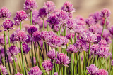 chive herb flowers on beautiful bokeh background with shallow focus