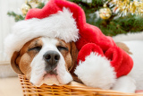 Photo sleeping dog weared to to red santa hat with christmas tree in background