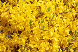 Fotografie beautiful yellow blossom of forsythia bush in garden