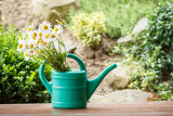 detail of daisy flower in garden watering can with shallow focus
