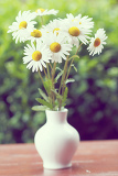 detail of daisy flower in the vase with shallow focus in pastel color
