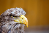 Fotografia portrait of big sea eagle haliaeetus albicill looking ahead with space for text