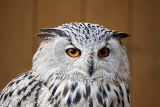 Photo portrait of eagle owl with his big and beautiful oranges eyes