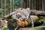 snow leopard irbis panthera uncia leopard looking ahead in zoo