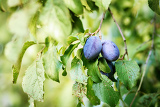 blue ripe plum in home orchard width shallow focus