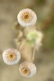 detail of dry tree poppyheads on the field with shallow focus