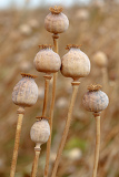 Fotografie detail of dry tree poppyheads on the field with shallow focus
