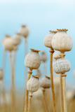 detail of dry tree poppyheads on the field with shallow focus against blue sky