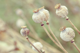Fotografie detail of dry tree poppyheads on the field with shallow focus and pastel colors