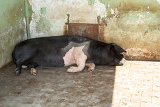 Photo big domestic pig sleeping farm czech republic