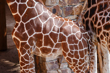 Fotografie beautiful brown giraffe body skin texture with white lines
