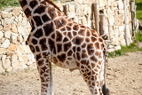 Photo beautiful brown giraffe body skin texture with white lines