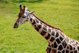close up shot of young cute giraffe against green grass