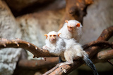 Fényképek family of small white silvery marmoset on branch
