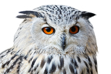 Photo isolated portrait of eagle owl with his big and beautiful oranges eyes