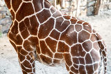 Fotografia beautiful brown giraffe body skin texture with white lines