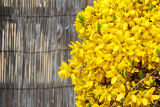 Fotografie beautiful yellow blossoms of forsythia bush in garden