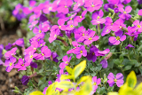 spring pink flowers in garden for natural background