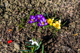 Fotografie one of the first spring flowers in garden