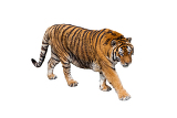 Photo tiger render