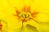 Fotografie macro of spring yellow flower primrose