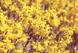 Fotografie beautiful yellow blossom of forsythia bush in garden with shallow focus