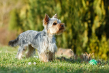 Photo cute small yorkshire terrier is running on a green lawn outdoor no people with small ball