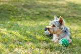 cute small yorkshire terrier is lying on a green lawn outdoor no peoplem with green ball