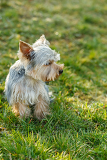 cute small yorkshire terrier is sitting on a green lawn outdoor no people